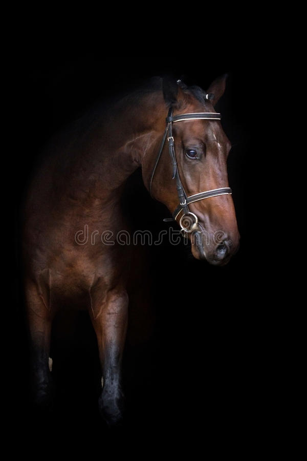 Лошадь залива на черноте стоковое изображение