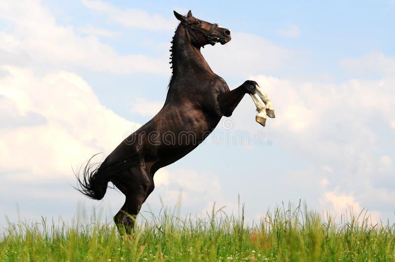 Лошадь залива поднимая вверх стоковое фото