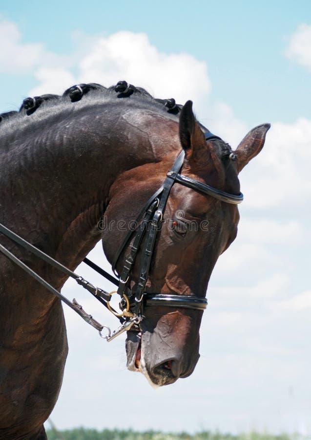 Лошадь залива Dressage стоковое изображение rf