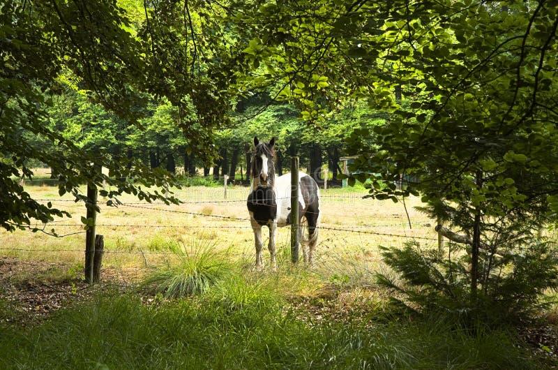 Лошадь за колючей загородкой стоковые фотографии rf