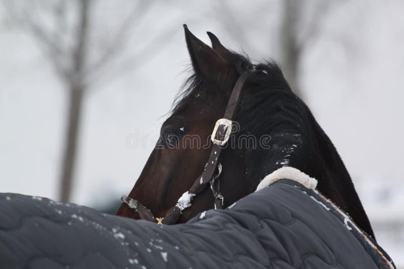 Лошадь зимы смотря назад стоковая фотография rf