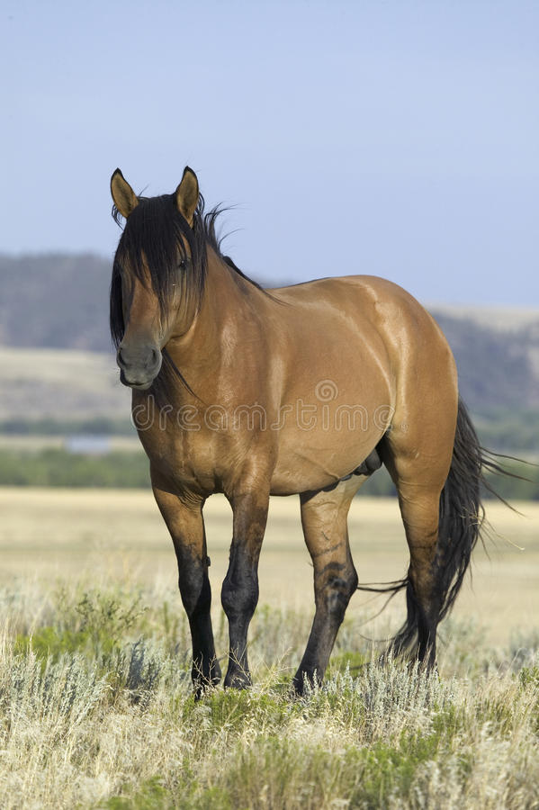 Лошадь известная как Casanova Стоковые Изображения