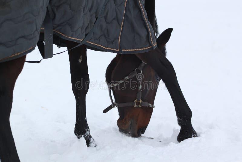 Лошадь ища трава стоковые изображения rf