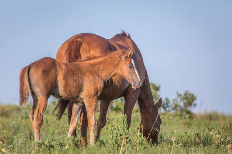 Лошадь и осленок стоковое изображение rf