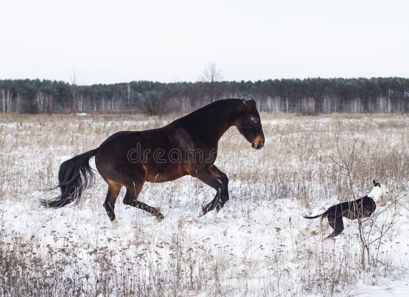 Download Лошадь и черно-белая собака играя в поле снега в зиме Стоковое Изображение - изображение насчитывающей backhoe, сосенка: 81802757