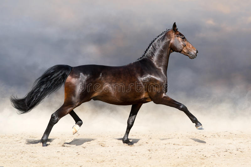 Лошадь идя рысью в пустыне стоковое фото rf