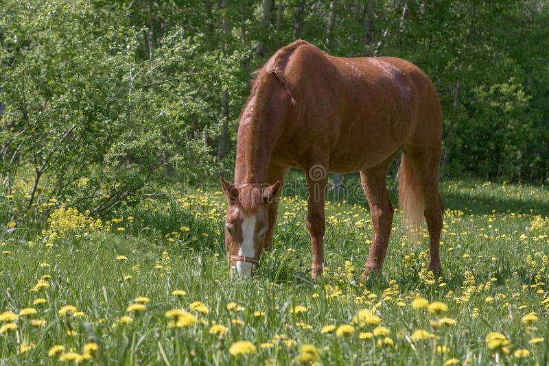 Лошадь каштана пася стоковое изображение rf