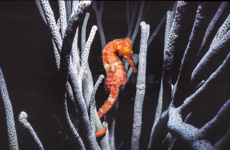 Лошадь моря садить на насест на gorgonians стоковое фото