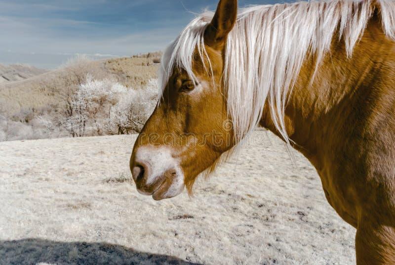 Лошадь на обрабатываемой земле, Эльзас Brabancon бельгийская, Франция Infrare стоковое изображение rf