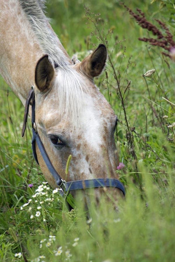 Лошадь пася в луге Wildflower стоковые фотографии rf