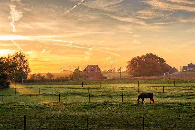 Лошадь пася на туманном утре на восходе солнца Kortenaken, Бельгии стоковые фотографии rf