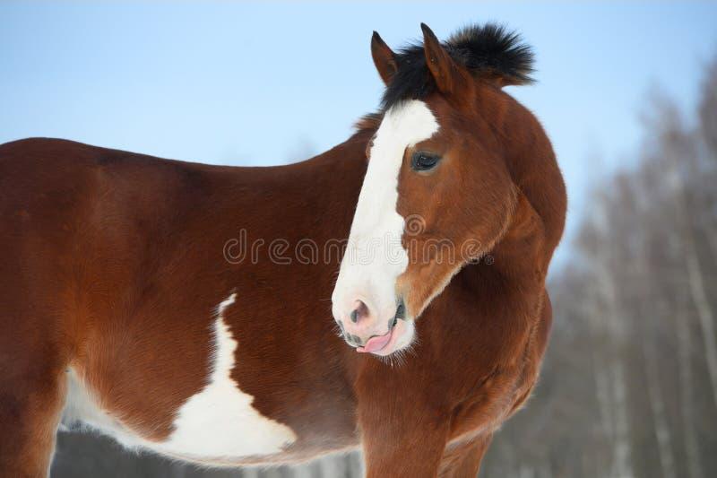 Лошадь проекта Владимира, портрет в зимнем времени стоковая фотография rf