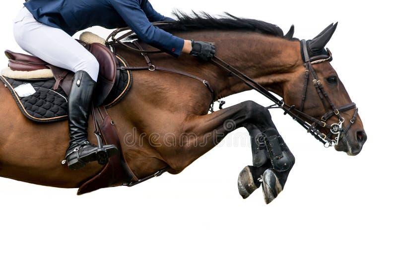 Лошадь скача, конноспортивные спорт, изолированные на белой предпосылке стоковые фотографии rf