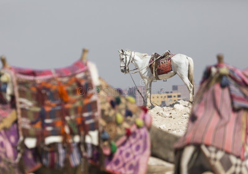 Лошадь стоит ждать туристские всадники около гигантской пирамиды стоковое фото rf