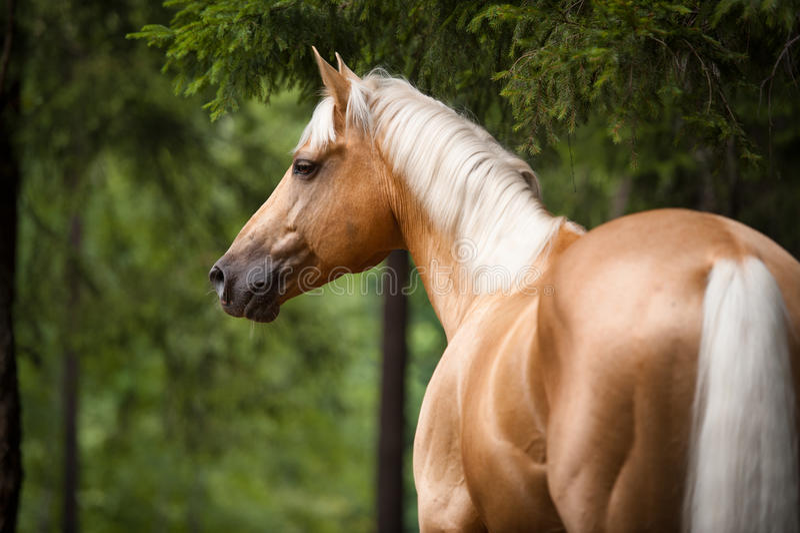 Лошадь с белой гривой, портрет Palomino в лесе стоковые изображения rf