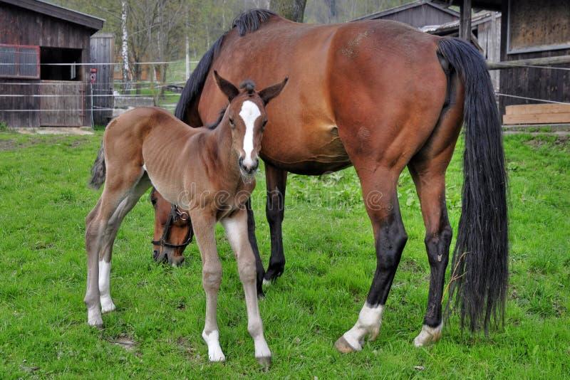 Лошадь с осленком стоковая фотография rf