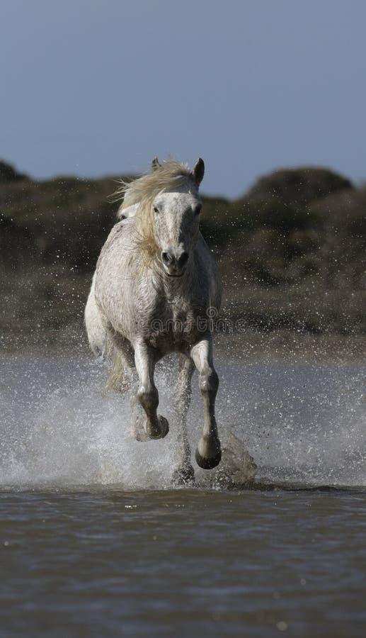 Download Лошадь Camargue белая стоковое изображение. изображение насчитывающей вода - 33728577
