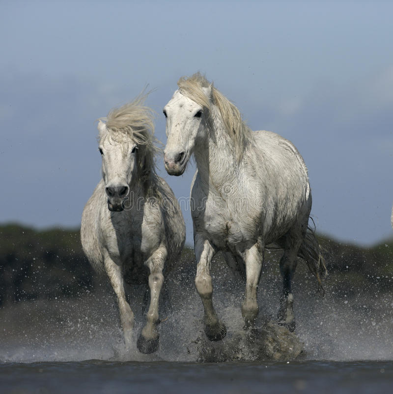 Download Лошадь Camargue белая стоковое фото. изображение насчитывающей wetland - 33728622