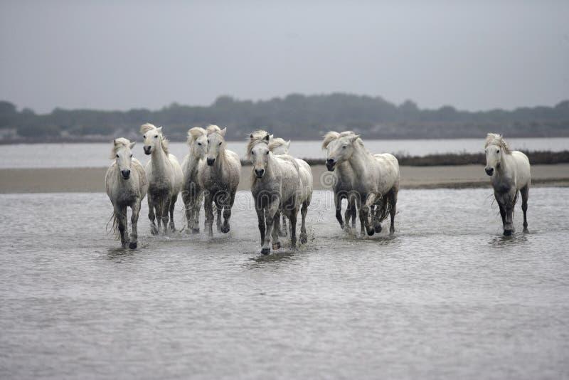 Download Лошадь Camargue белая стоковое фото. изображение насчитывающей бежать - 33728676