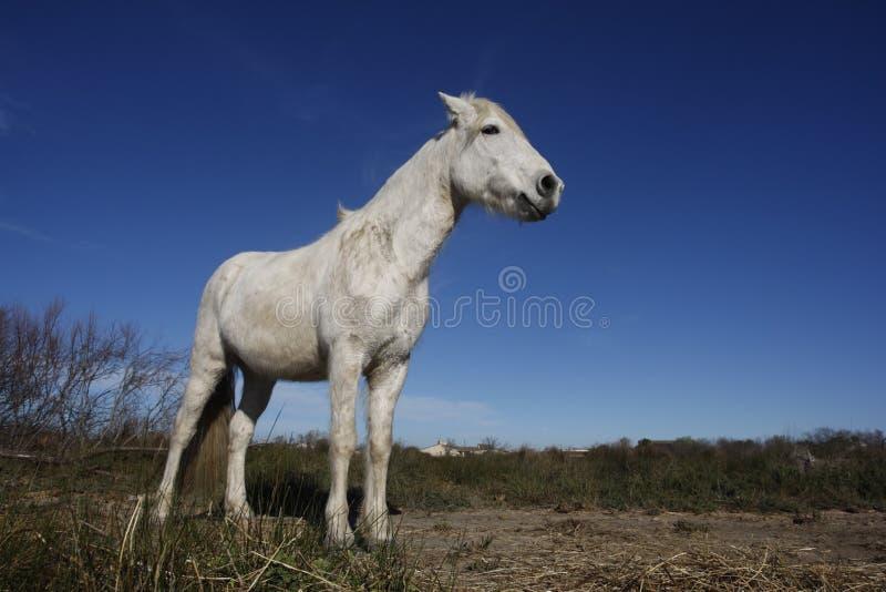 Download Лошадь Camargue белая стоковое фото. изображение насчитывающей ландшафт - 33728714