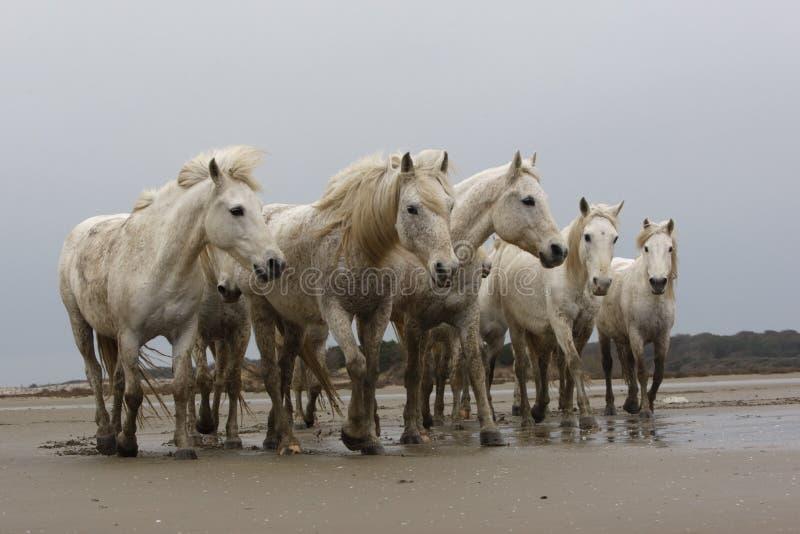 Download Лошадь Camargue белая стоковое фото. изображение насчитывающей wetland - 33728738