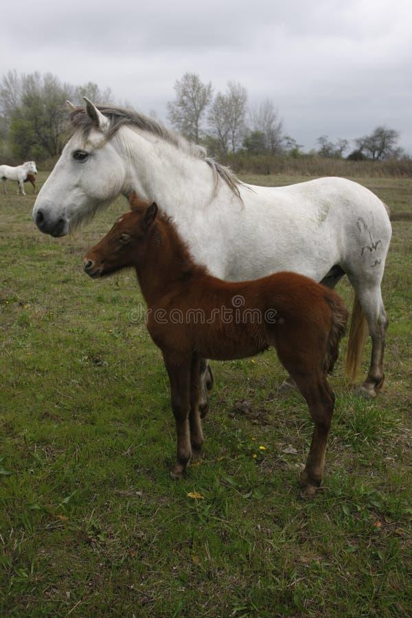 Download Лошадь Camargue белая стоковое фото. изображение насчитывающей отмело - 33728758