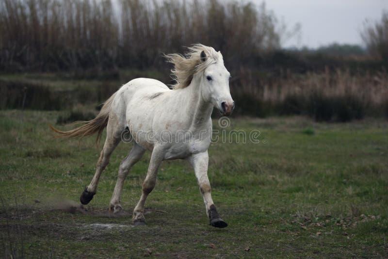 Download Лошадь Camargue белая стоковое фото. изображение насчитывающей mammal - 33728776
