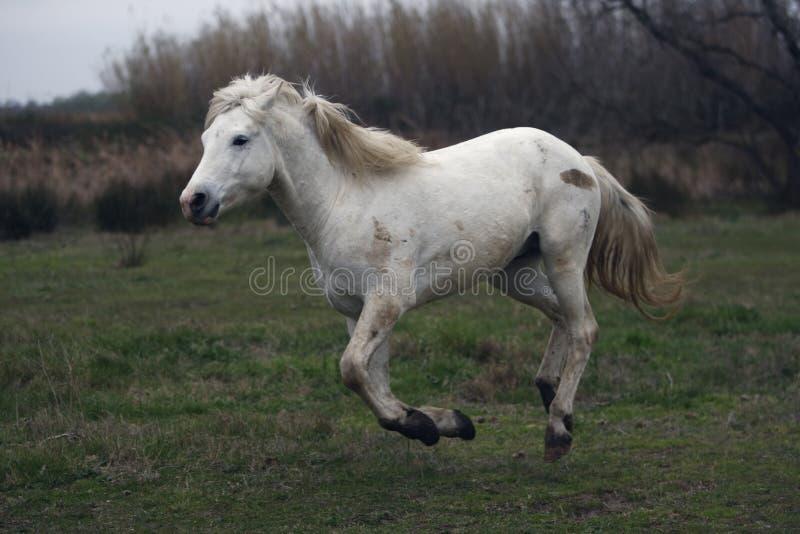 Download Лошадь Camargue белая стоковое фото. изображение насчитывающей лошадь - 33728782