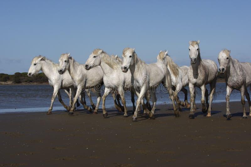 Download Лошадь Camargue белая стоковое изображение. изображение насчитывающей болото - 33728799