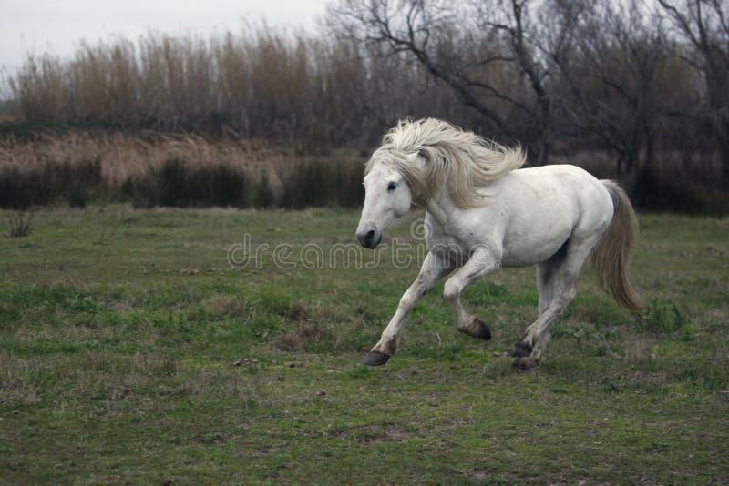 Download Лошадь Camargue белая стоковое изображение. изображение насчитывающей gallop - 33728803