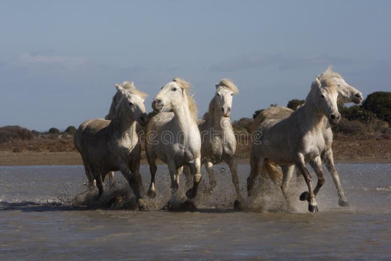 Download Лошадь Camargue белая стоковое фото. изображение насчитывающей бежать - 33728816
