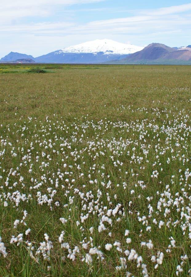 Луг белых цветков с вулканом стоковая фотография rf
