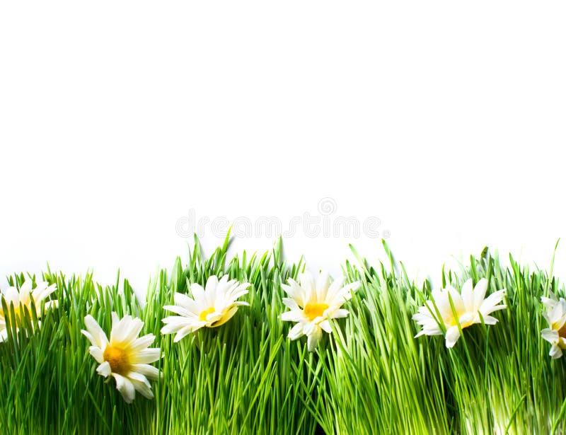 Луг весны с маргаритками стоковая фотография
