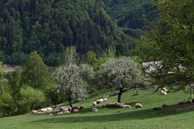 Луг горы с стадом овец стоковая фотография rf