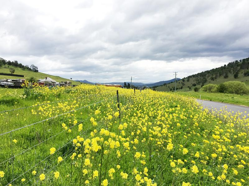 Луг заполненный с желтыми канола цветками стоковые фотографии rf