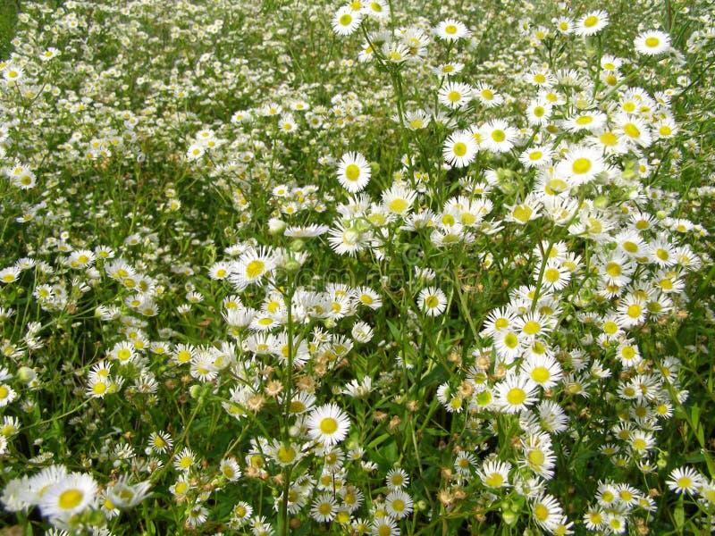 Луг лета с белыми цветками стоковая фотография rf