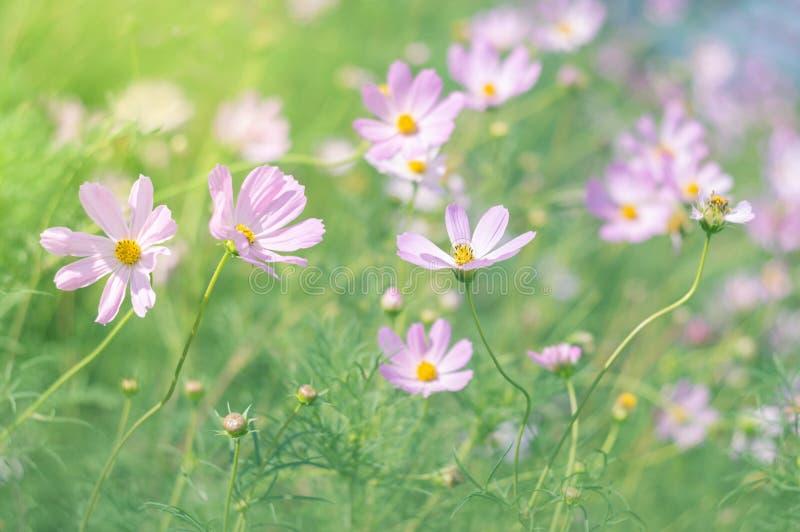 Луг лета цветет пинк Цветки в солнечном свете на запачканной предпосылке Селективный фокус стоковое фото