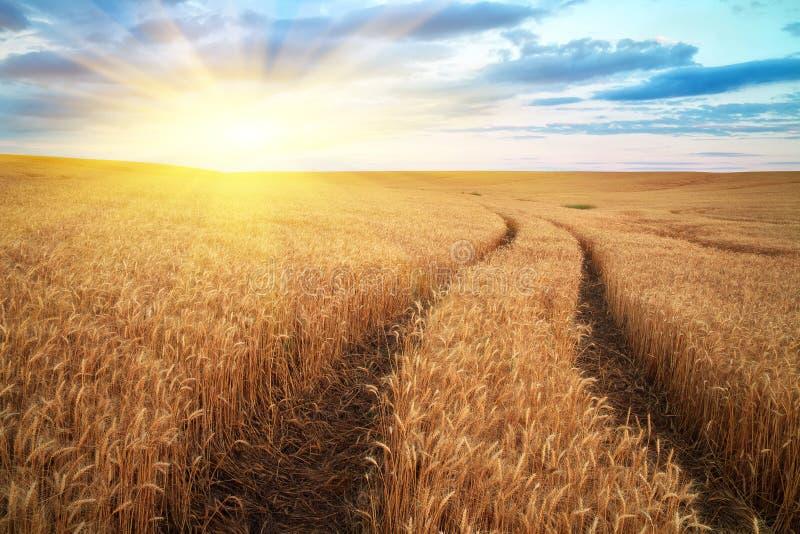 Луг пшеницы стоковые изображения