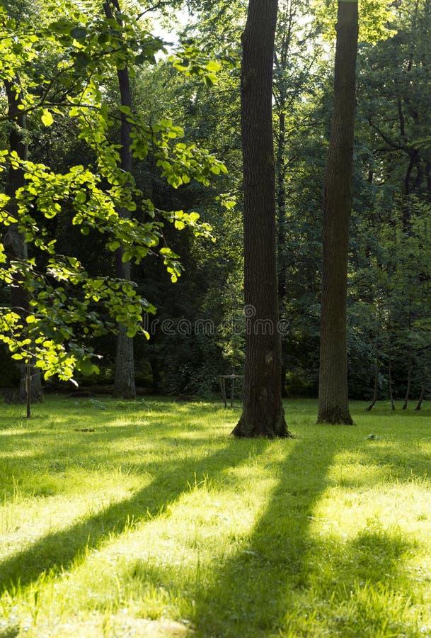 Луг с зеленой травой и тени, солнце излучают, стволы дерева, gree стоковые фото