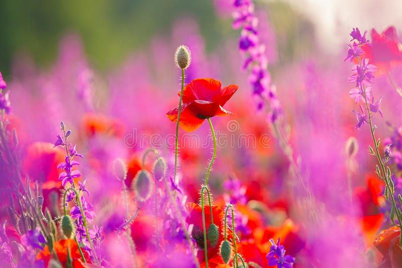 Луг с красивым ярким красным маком стоковая фотография rf