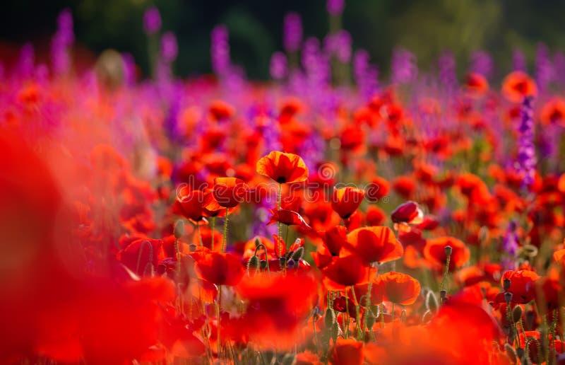 Луг с красивым ярким красным маком стоковая фотография