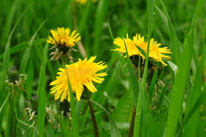 Луг с одуванчиками на солнечный день одуванчики весной цветя одуванчики стоковые изображения rf
