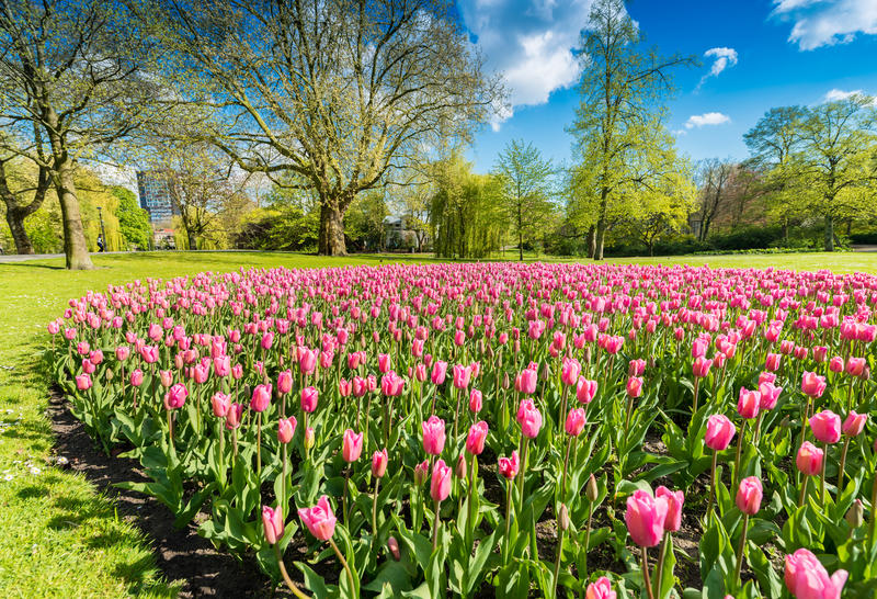 Луг тюльпанов в парке города стоковые фотографии rf