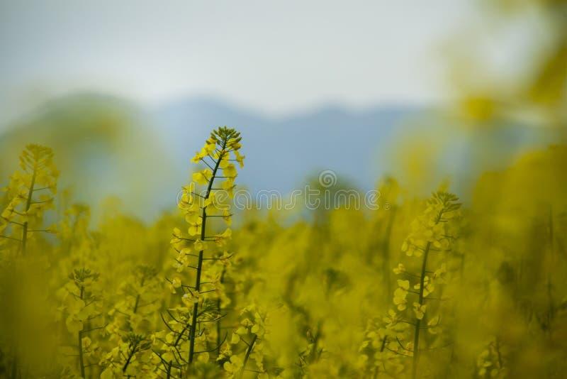 луг цветка рапса в Каталонии стоковые фото