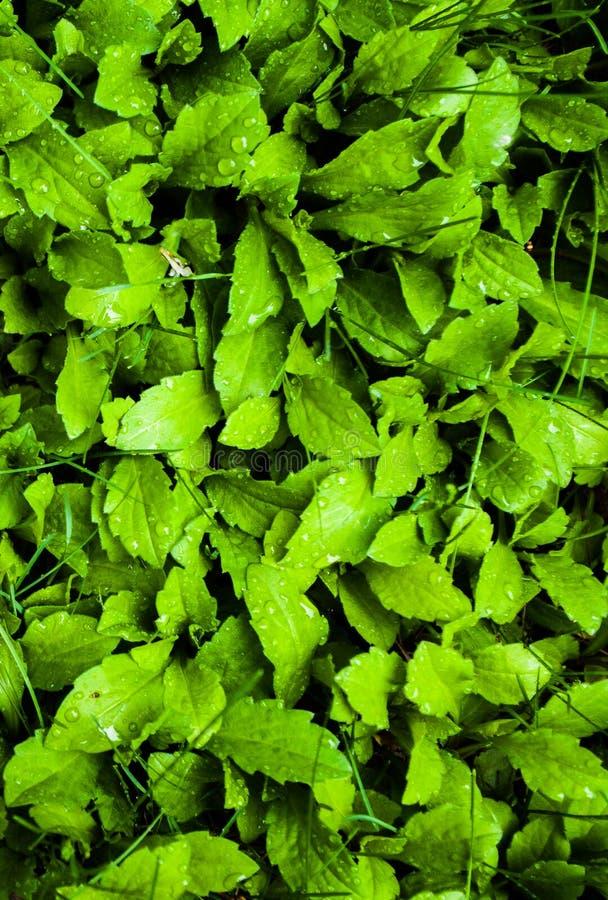 Лужайка злаковика; sward; greensward; трав-график; дерн стоковые фото
