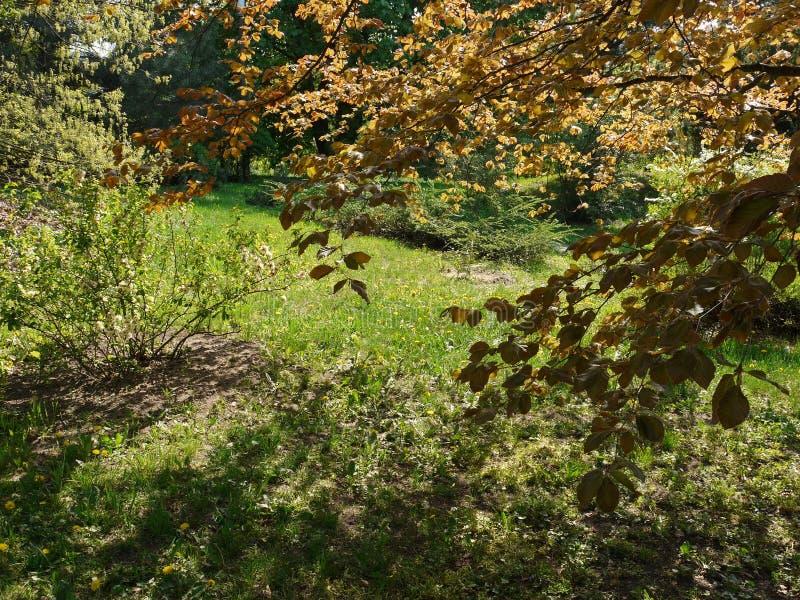 Лужайка между толстыми деревьями на которых растет много цветов желтого одуванчика стоковое изображение