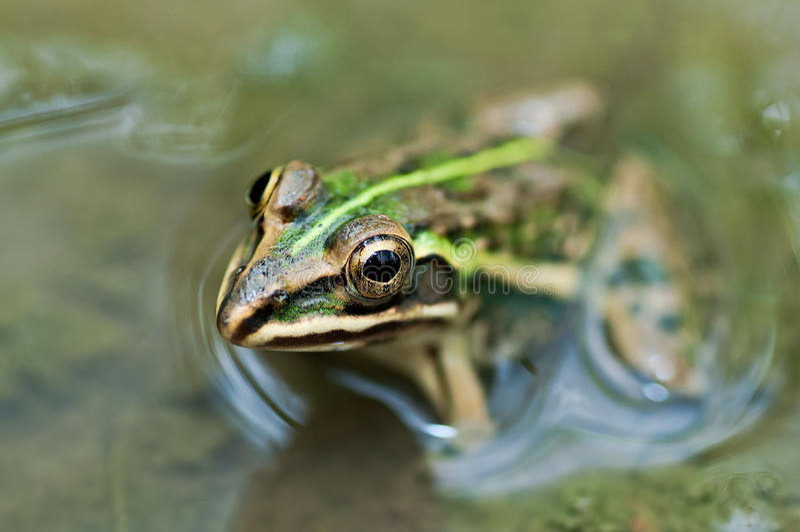 Лужицы Bullfrog лягушки водоросли индийской зеленые стоковая фотография rf