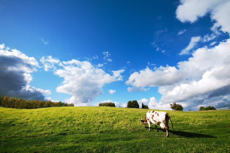 лужок коровы стоковое изображение rf