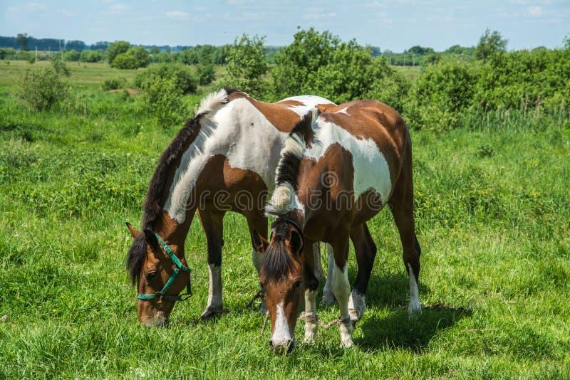 лужок 2 лошадей стоковое фото