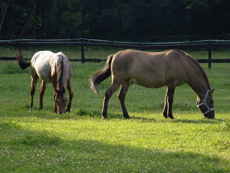 лужок лошадей стоковое фото rf